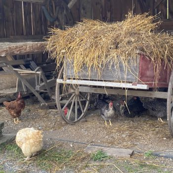 Chickens milling about