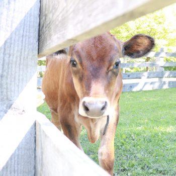Nutmeg the curious cow