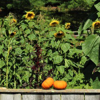Pumpkins sharing a Sunflower Moment